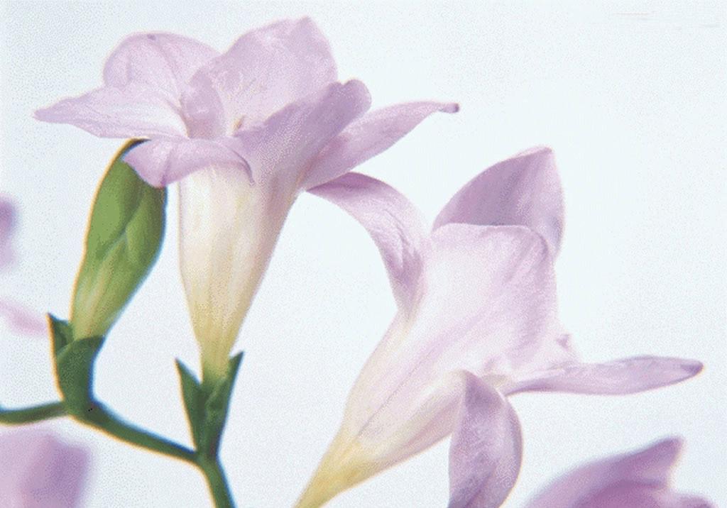 中国鲜花礼品网-百合花图片展示