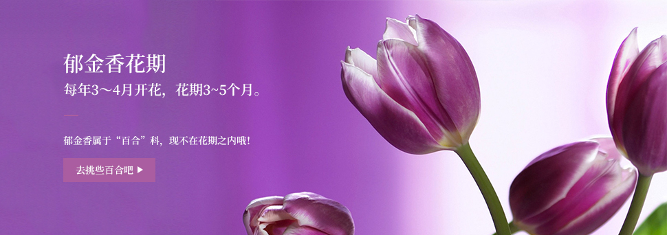 郁金香非花季Banner